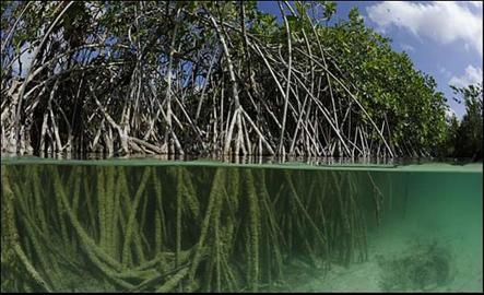 Los manglares son árboles muy tolerantes alas sales existentes en las zonas cercanas a la desembocadura de cursos de agua dulce en latitudes tropicales y subtropicales. No solo tienen una función de protección de la vegetación y la fauna, también contribuyen a mitigar los efectos del cambio climático al ser capaces de absorber y almacenar CO2 en sus raíces.Los manglares también ayudan a frenar el desgaste y la erosión de los suelos, evitando así que se acumulen sedimentos en las playas.